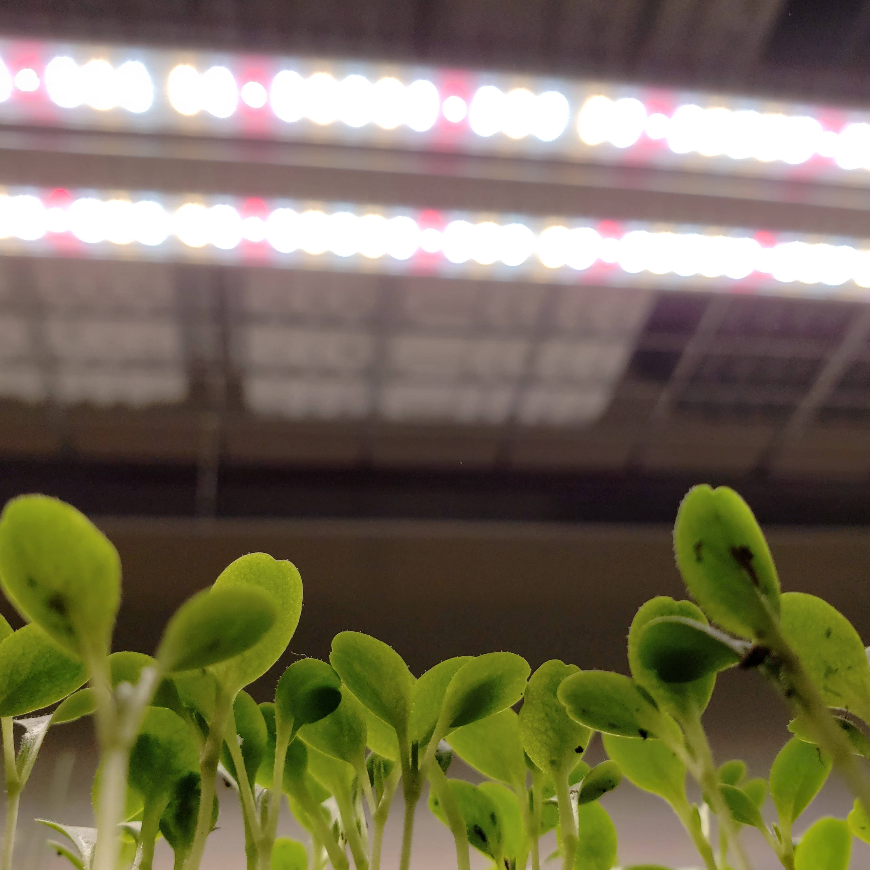 Seedlings under grow light